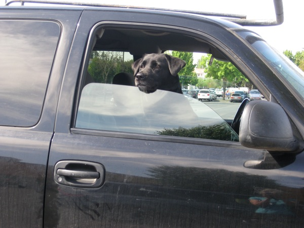 Worried Lab in car dtf