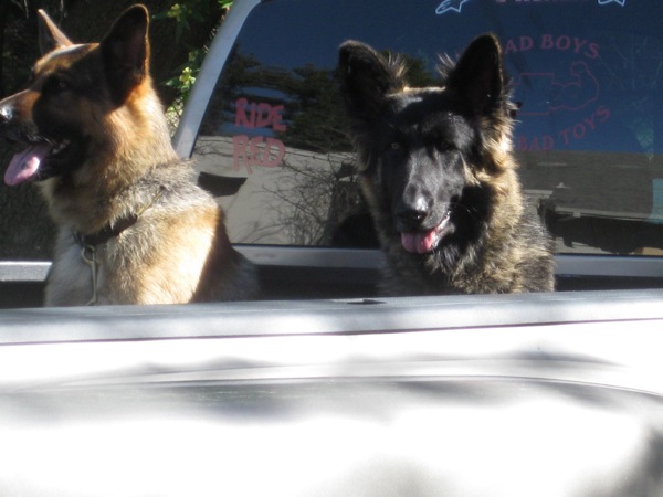 Shepherds waiting in a hot pickup truck bed