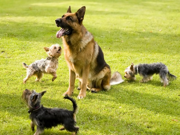 German shepherd training Wallpaper g1ro2