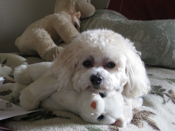 Cocker Spaniel Poodle dog with stuffed white cat.
