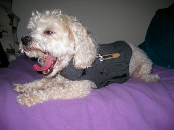 Sydney getting sleepy in a Thundershirt