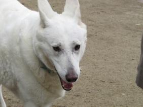 Amsterdam-Dogscu-white-ears-back-copy.JPG