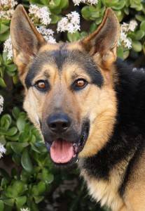German Shepherds for adoption